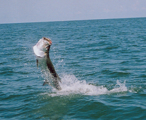 Louisiana angler fishing south shore harbour charter for Lake tarpon fishing